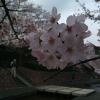滝頭公園の「滝頭桜まつり」